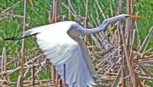 Great Egret 3