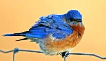Mad Bluebird-3570