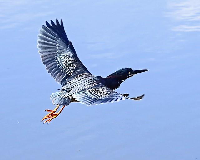 Green Heron.jpg