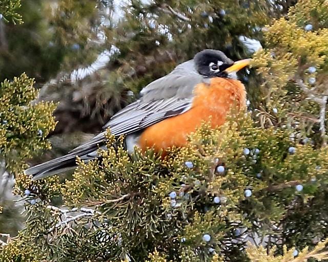 Wintering Robin.jpg