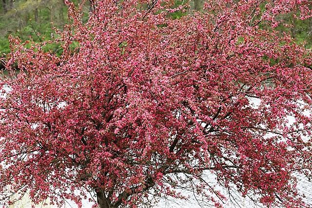 Crabapple Tree.jpg