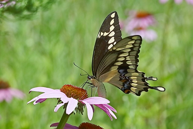 Swallowtail & Purple Coneflower 6.jpg