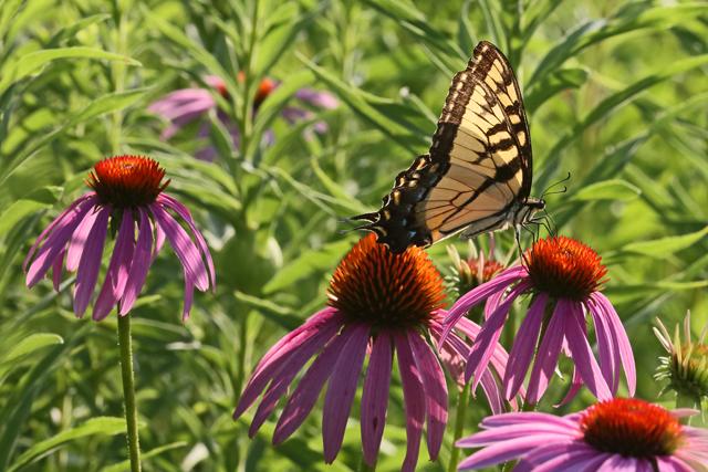 Swallowtail & Coneflowers 5.jpg