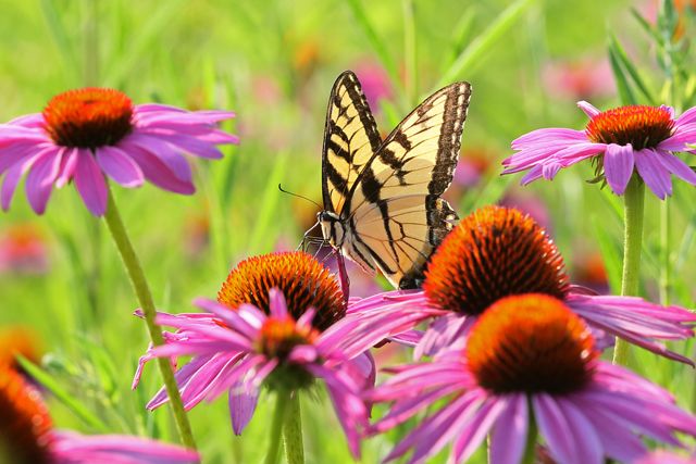 Swallowtail & Coneflowers 4.jpg