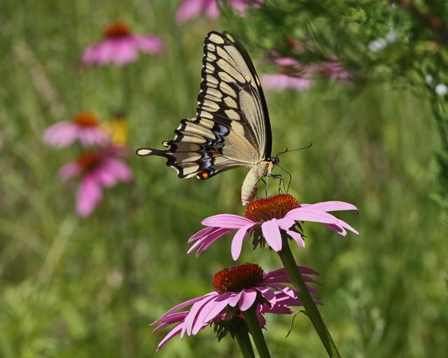 Swallowtail & Coneflowers 3.jpg