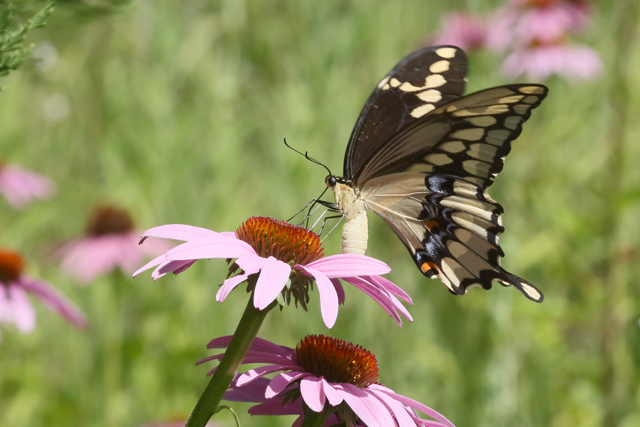 Swallowtail & Coneflowers 2.jpg