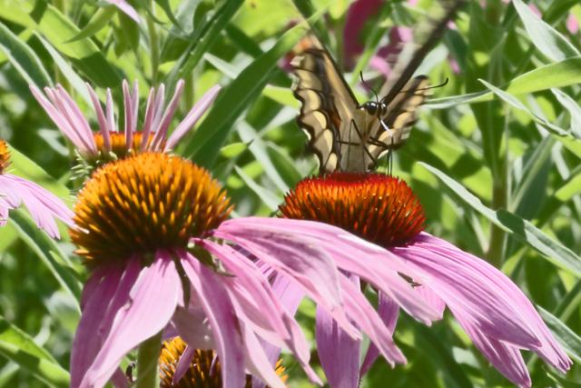 Swallowtail & coneflowers 1.jpg