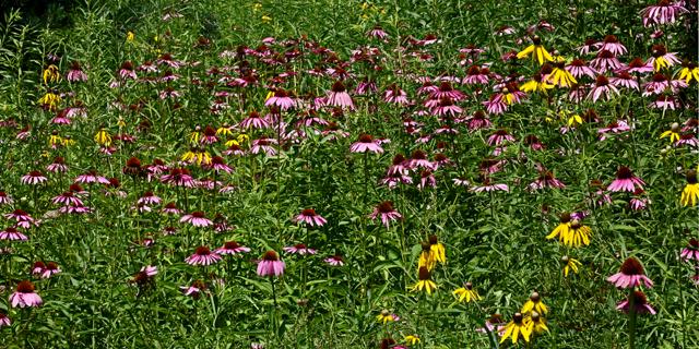 Prairie Coneflowers.jpg