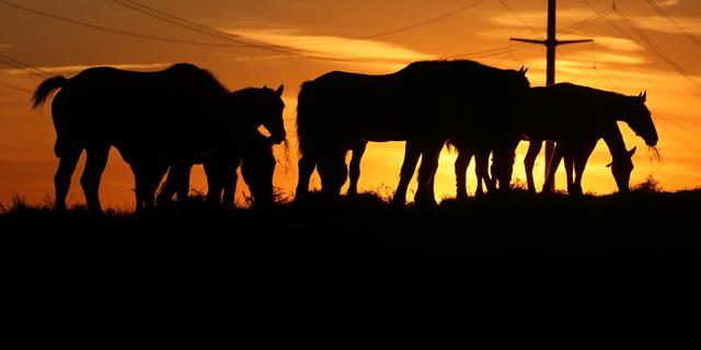 Amish Draft Horses at Sundown.jpg