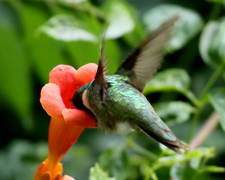Ruby T Hummingbird 3.jpg