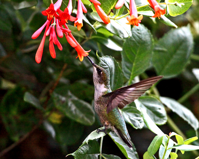 Ruby T  Hummingbird 2.jpg
