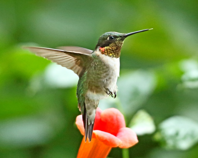 Ruby T Hummingbird 1.jpg