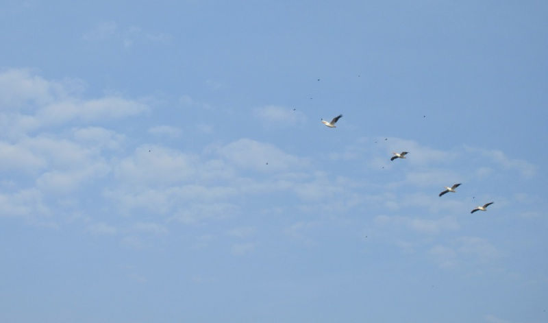 Welcomed by pelicans.JPG