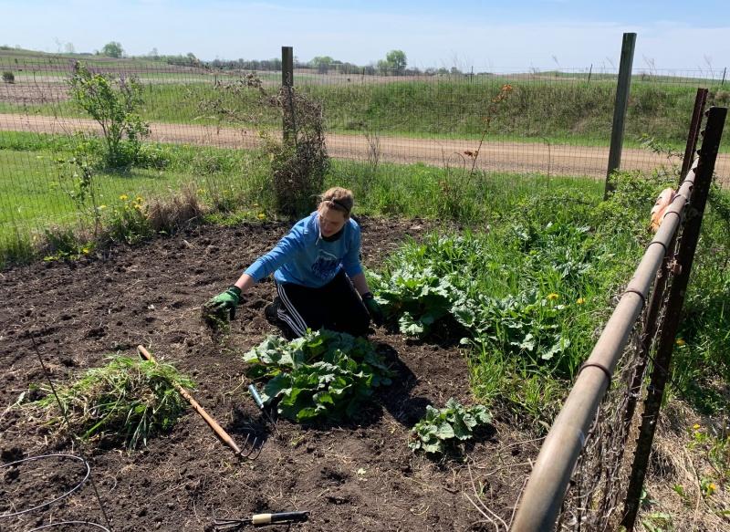 Emily Ressler tending the rhubarb.jpeg