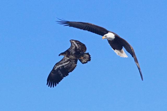 Bald Eagle 8.jpg