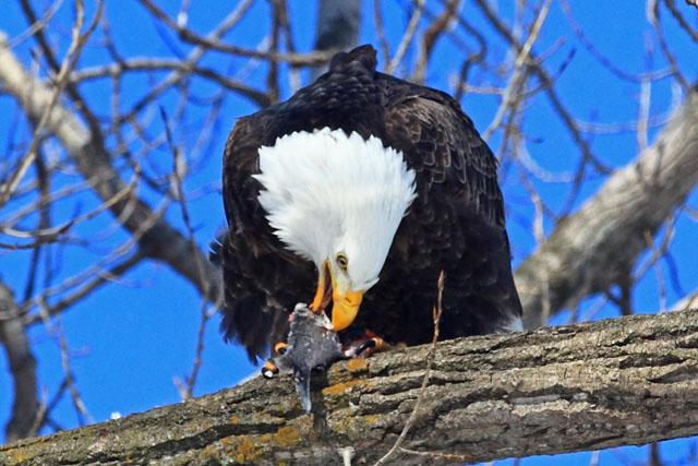 Bald Eagle 7.jpg