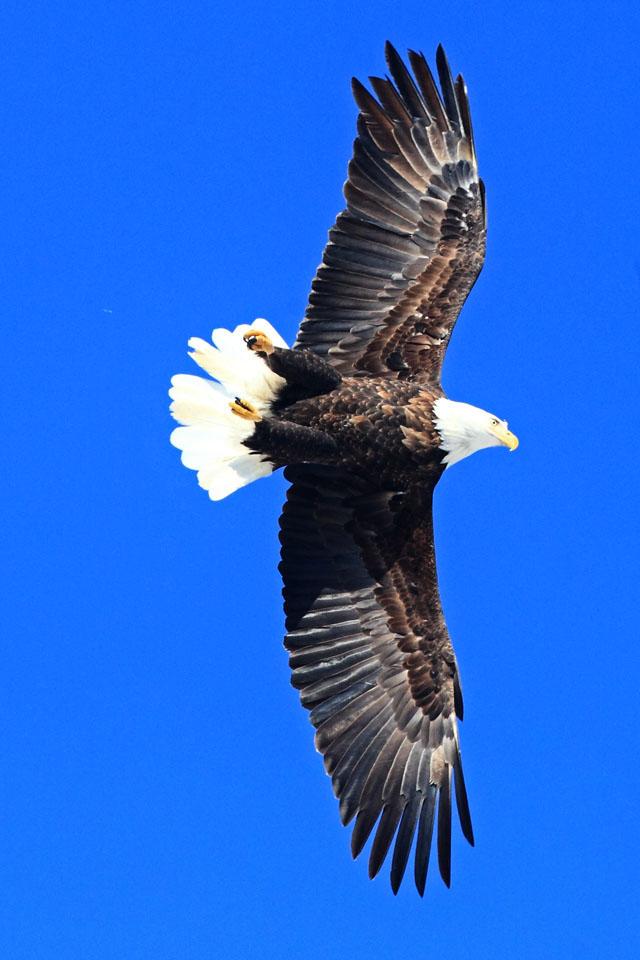 Bald Eagle 6.jpg
