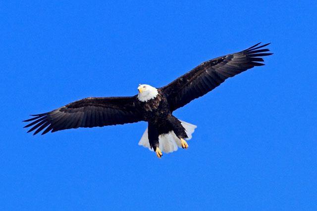 Bald Eagle 5.jpg