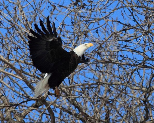 Bald Eagle 4.jpg