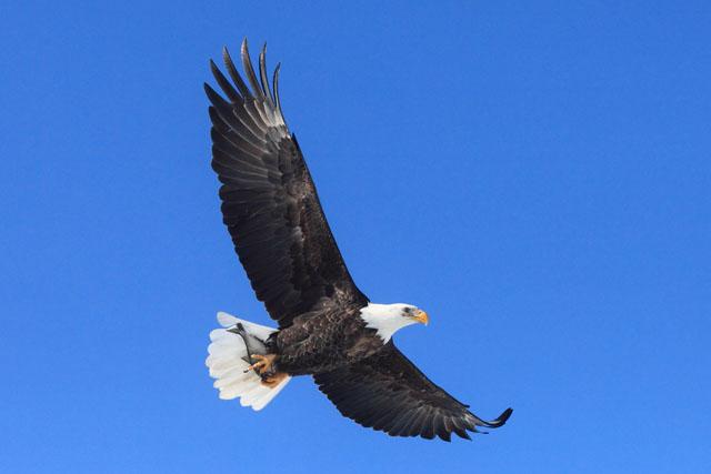 Bald Eagle 2.jpg