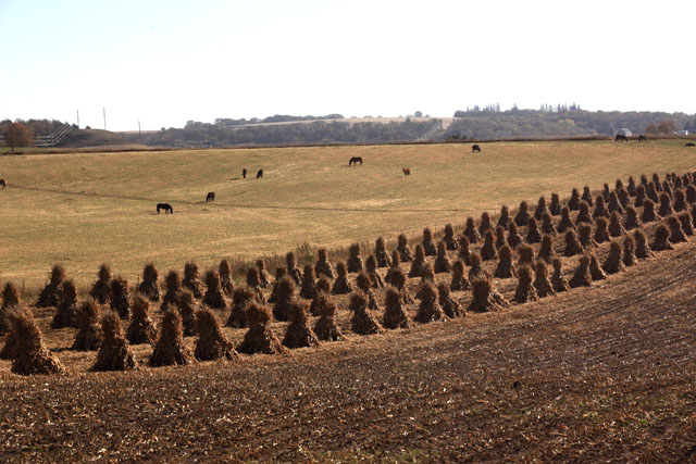 4 Amish Harvested Corn Field.jpg
