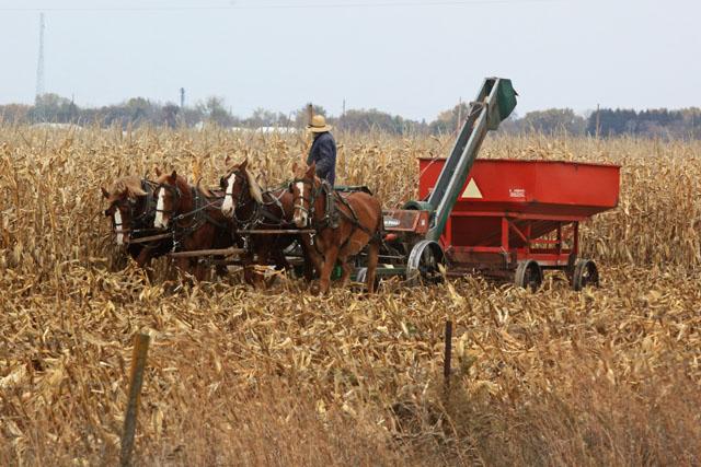 1 Amish One Row Corn Picker.jpg