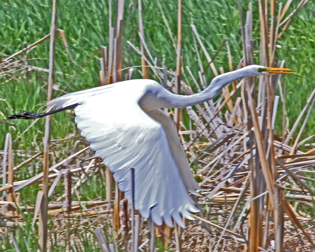 Great Egret 3.jpg