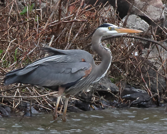 Great Blue Heron 1.jpg