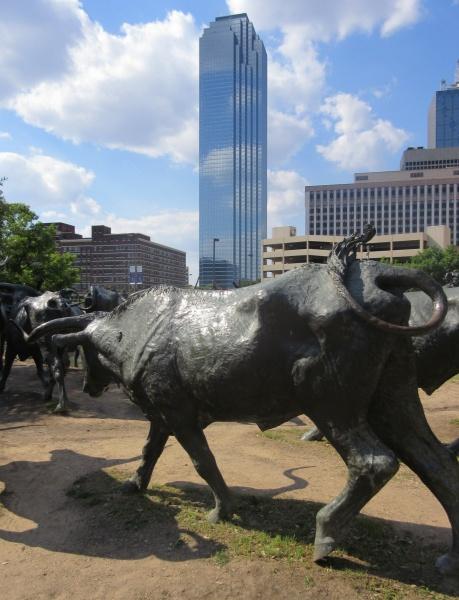 Cattle headed downtown Dallas.JPG