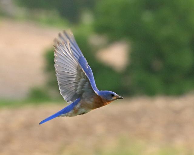 Male Bluebird-1942L.jpg