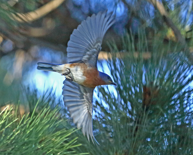 Male Bluebird-1799L.jpg