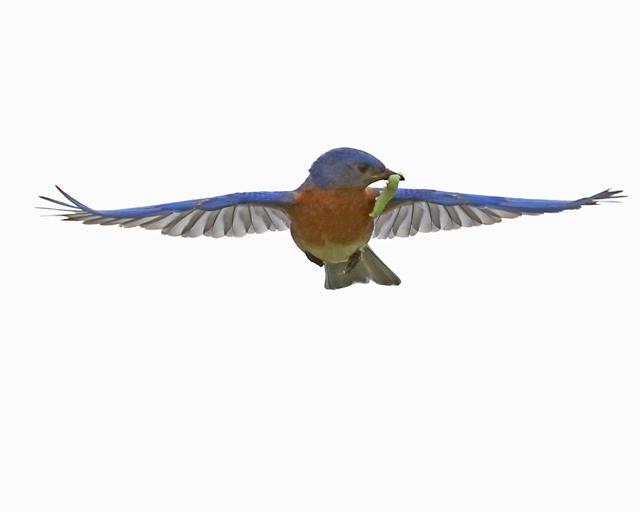 Male Bluebird-1425L.jpg