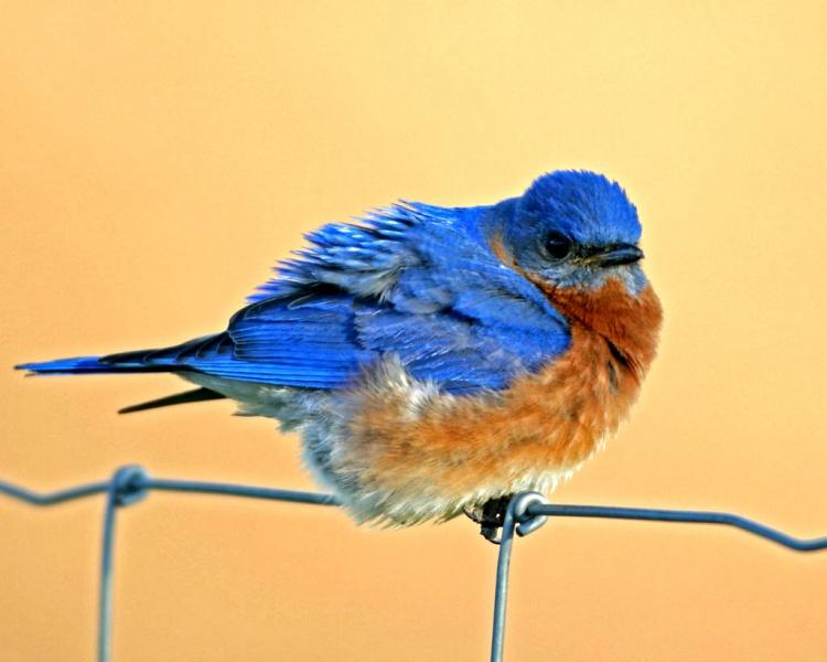 Mad Bluebird-3570.jpg