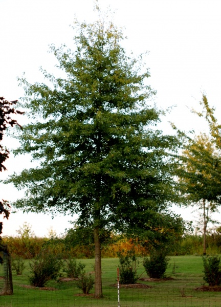 Carla O Oak Tree 2015 RESIZED.jpg