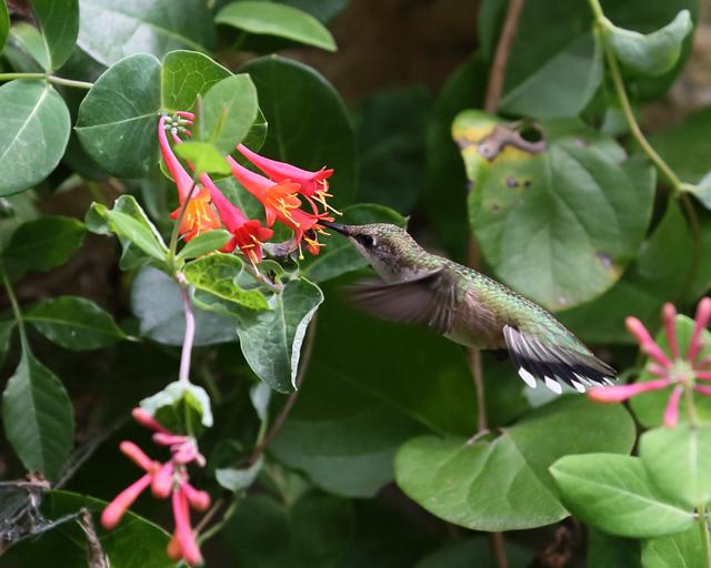 Hummingbird 9.jpg