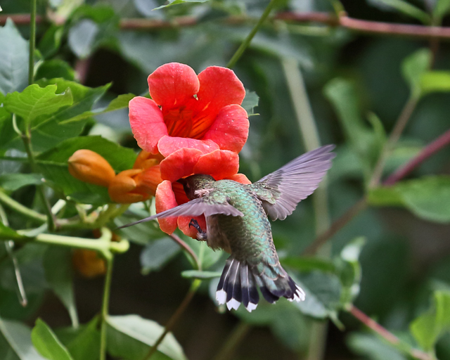 Hummingbird 8.jpg