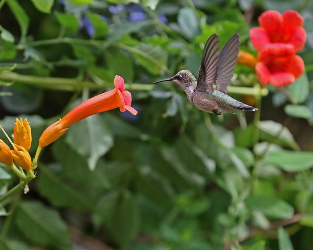 Hummingbird 7.jpg