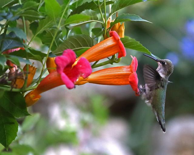 Hummingbird 6.jpg