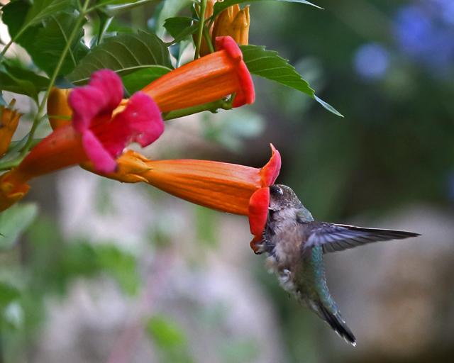 Hummingbird 5.jpg