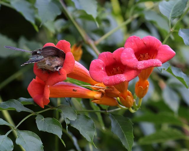 Hummingbird 4.jpg