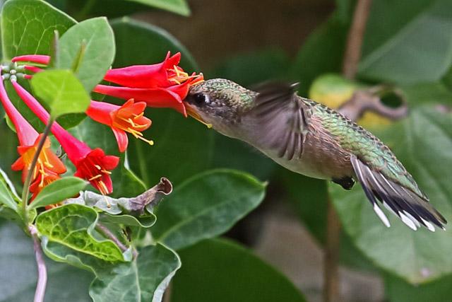 Hummingbird 3.jpg