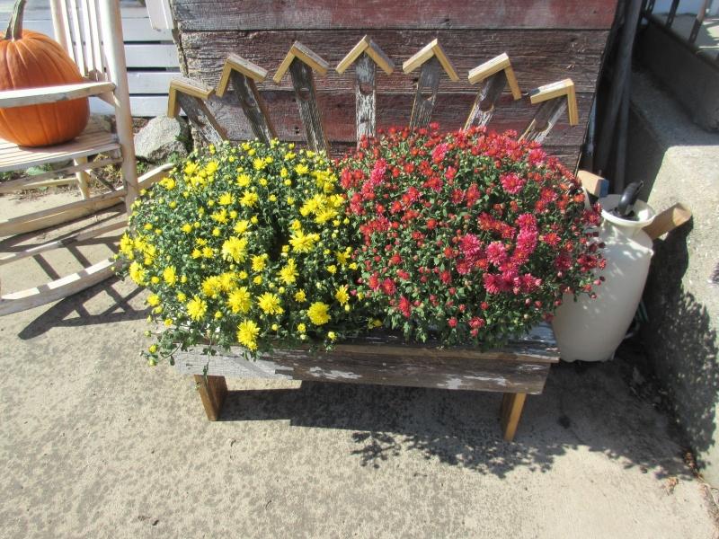 Mums in bloom from Karen Lawton - Resized.JPG