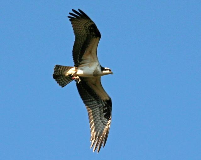Osprey 3.jpg