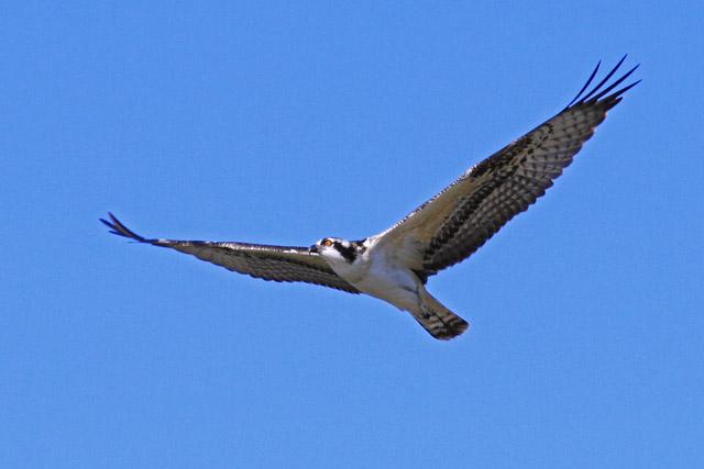 Osprey 1.jpg