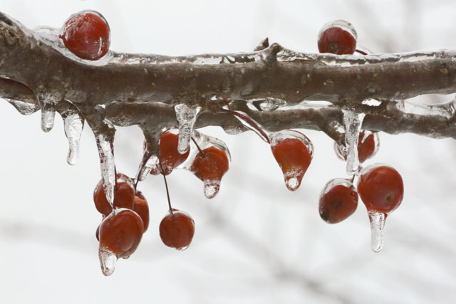 Winter Crab Apples-6947L.jpg